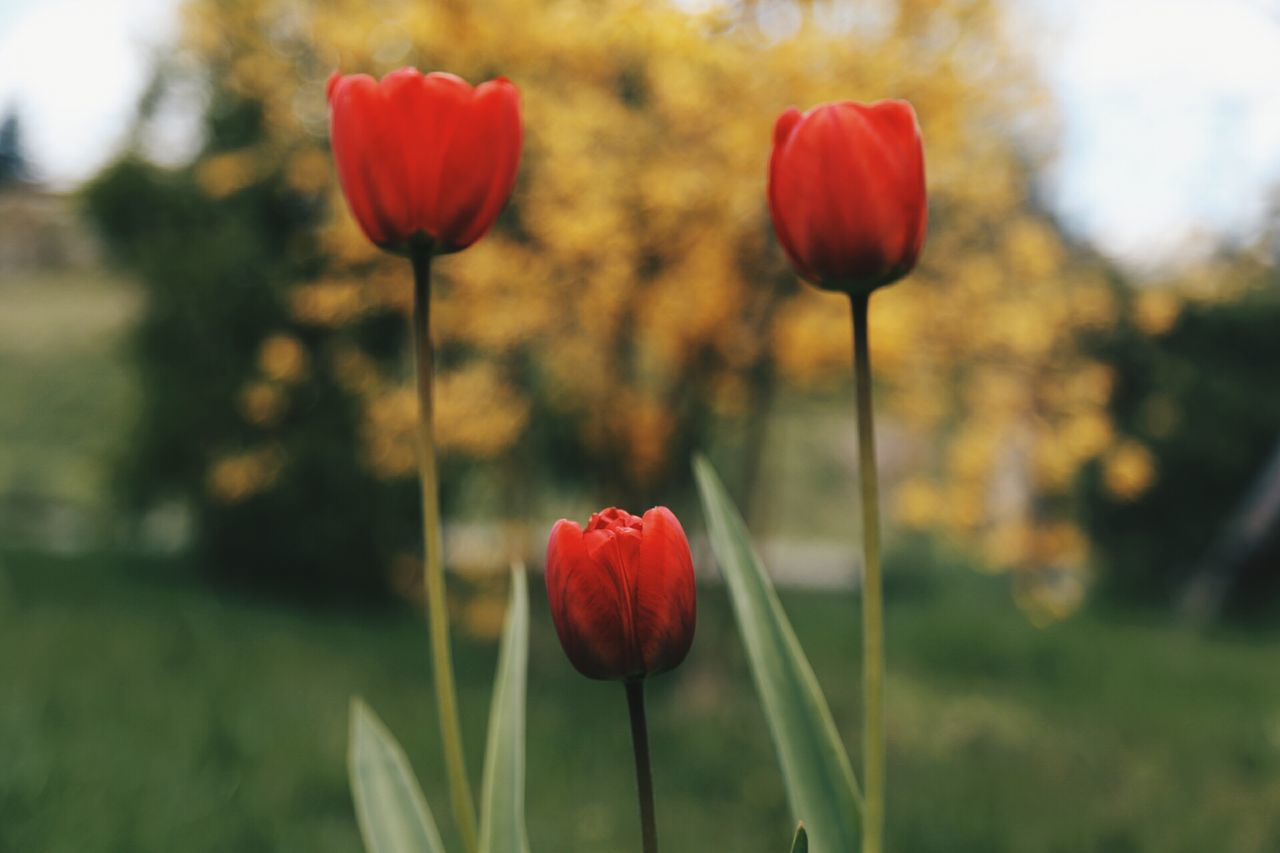 Three Lips of Tulips Flower Nature Growth Freshness Beauty In Nature Tulip Red Close-up Flower Head Fragility Springtime Blooming The Weekend On EyeEm Springhassprung Spring Has Arrived DEP Petal