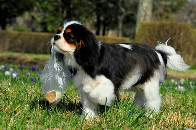 Young and Smart. Proudly carrying his own meal. Cavalier King Charles Spaniel Ckcs Puppy Akc Dog Love Dog Cavalier  Enjoying Life