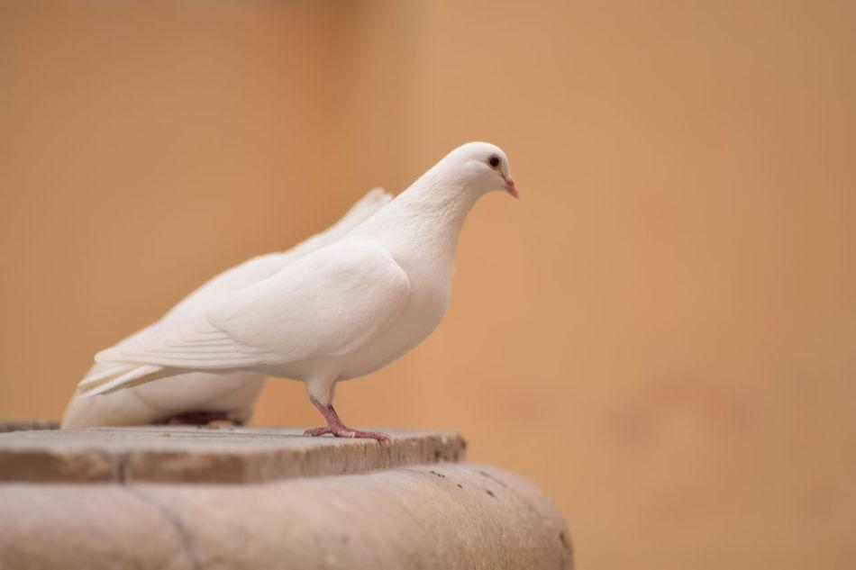 Beautiful stock photos of friedenstaube, bird, one animal, white color, animal themes
