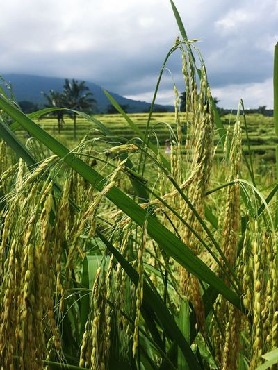 Vacation Time Bali, Indonesia Rice Field Green Color Beatiful Nature Photography IPhone Peace And Quiet