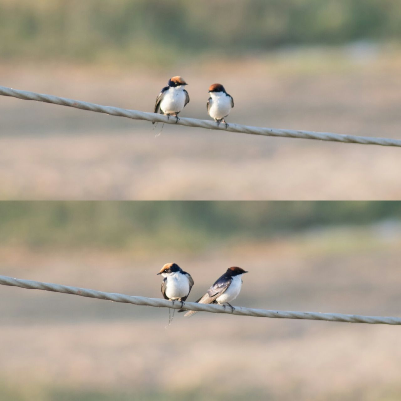 Couple of swallows had their argument😂 Bird Animal Wildlife Nature Animal Themes Perching Living Organism Animals In The Wild Swallow Birds Swallow Couple - Relationship Couples Couple Photography Nikonphotography NIKON D5300 NikonAsia Nikonindia EyeEm Eyeemphotography Amateurphotography Amateur Photographer Photography Songbird  Full Length Eating EyeEmNewHere
