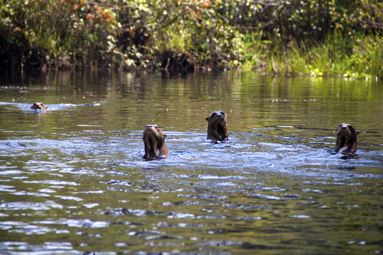 Animal Themes Animals In The Wild Day Lake Mammal Nature Nature No People Otter Otters Outdoors Reflection Water Wildlife
