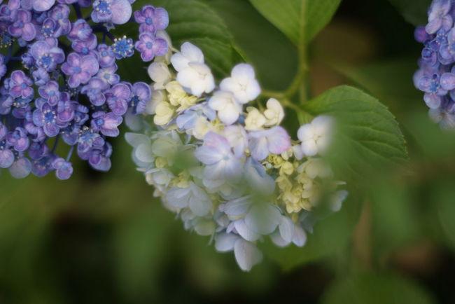 紫陽花 オールドレンズ Oldlens Nofilter EyeEm Flower 6月