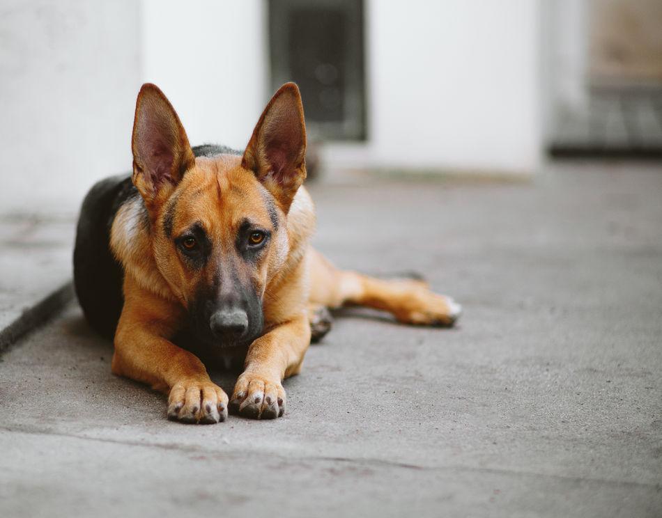 Kira AdoptDontShop Animal Themes Dog Dog Love Dogs Dogs Of EyeEm Dog❤ Domestic Animals German Shepherd Looking At Camera One Animal Pets Portrait Relaxation