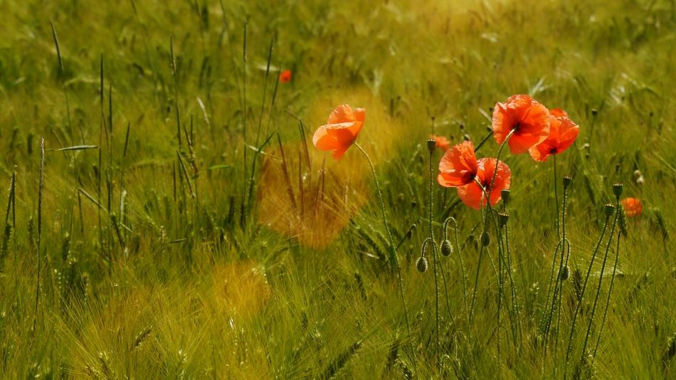 Light up Landscapes Nature's Diversities Lonely Poppy In Cereal Field Blob Red Blobs Flowers Flower Collection Poppies Blooming EyeEm Gallery Naturelovers Nature Photography Flower Photography Colorsplash Sunrays Spotlight Sunshine Cereal Field Poppies In Cereal Field