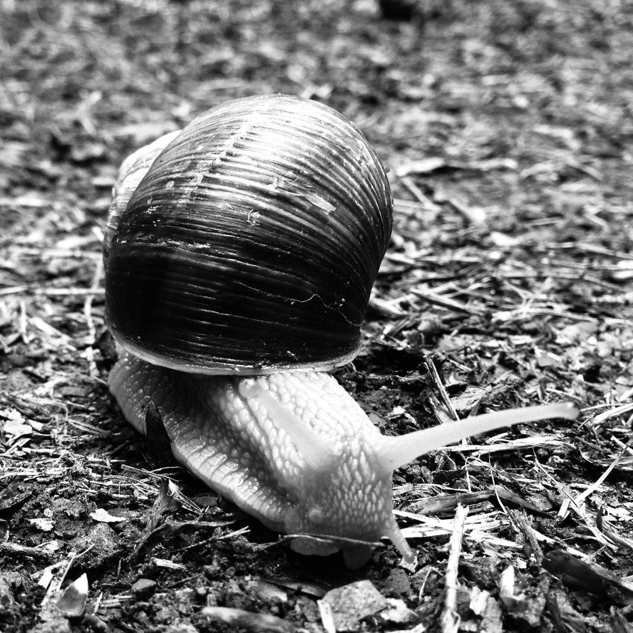 Snailmail. Nature Blackandwhite Schwarz & Weiß Snail