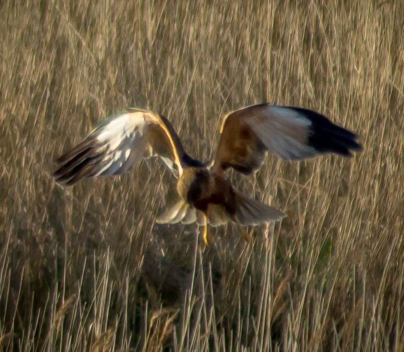 Bird Flying Spread Wings Animals In The Wild Animal Themes Nature No People Motion Animal Wildlife Outdoors Marsh Harrier Birds_collection Bird Of Prey Sony A77 Malephotographerofthemonth Hovering Hunting