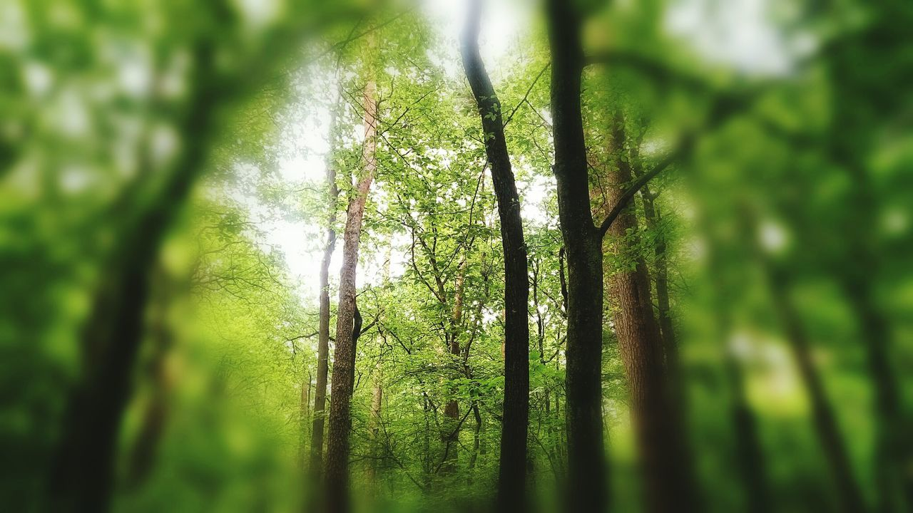 nature, green color, tree, beauty in nature, tranquility, forest, growth, tree trunk, day, no people, outdoors, tranquil scene, bamboo - plant, branch
