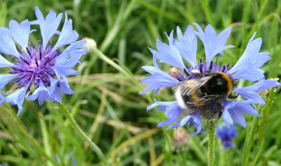 Animal Themes Animal Wildlife Animals In The Wild Beauty In Nature Blooming Close-up Day Field Flower Flower Head Focus On Foreground Fragility Freshness Growth Insect Nature No People One Animal Outdoors Petal Plant Pollination Purple Garden Cornflower Bachelor Buttons