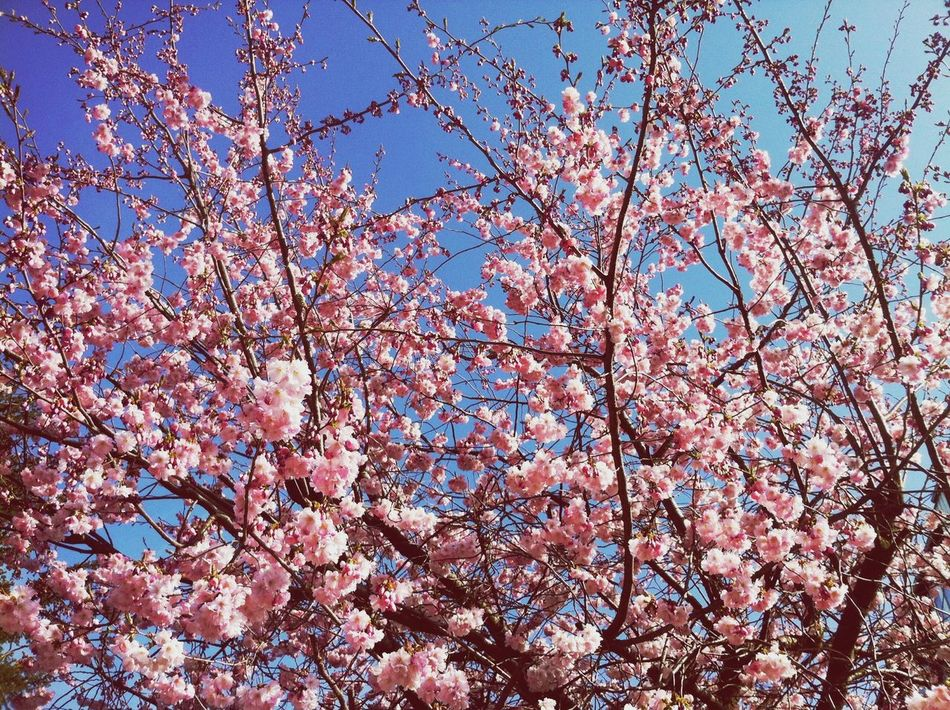 Beautiful stock photos of cherry, Beauty In Nature, Branch, Charlottenlund, Cherry Blossom