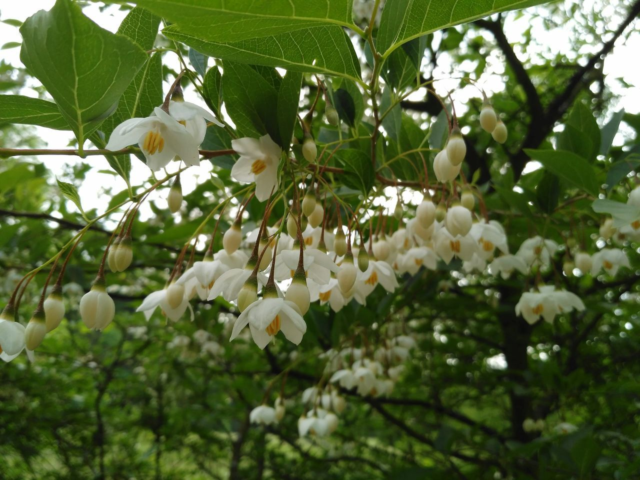 flower, tree, white color, growth, fragility, branch, beauty in nature, freshness, nature, petal, springtime, blossom, apple blossom, twig, blooming, no people, day, leaf, low angle view, outdoors, plant, flower head, close-up