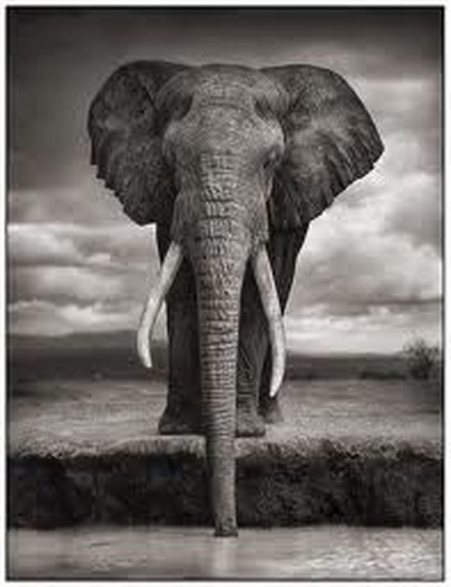 "Nick Brandt 1. Finally proud owners of a copy of this amazing print. Nick Brandt rarely uses a telescopic lens rather he patiently earns the trust of the animals by moving closer over a very long period of time to get unbelievably close. This magestic elephant was absolutely as close as he seems. He says ""It's as much about the atmosphere of the place as the animals"" Sadly even though he was the leader of his pack he was butchered by poachers not long after this photo was taken. Nick Brandt EyeEm Best Shots Animals EyeEm Best Shots - Black + White Not My Pic"