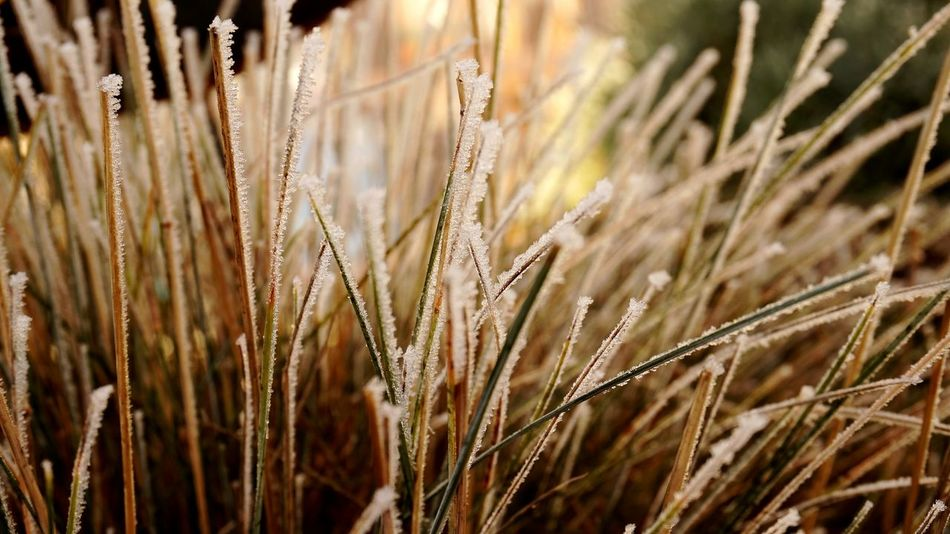 Frozen Grass Close-up Nature Growth Plant Outdoors Beautiful Nature Nature Photography Landscape Photography Backgrounds Ice Crystals Freshness Frozen Nature Beauty In Nature EyeEm Nature Lover EyeEm Gallery EyeEm Best Shots Eye4photography  Winterscapes Frosty Nature Lover Winter Time Winter Tones