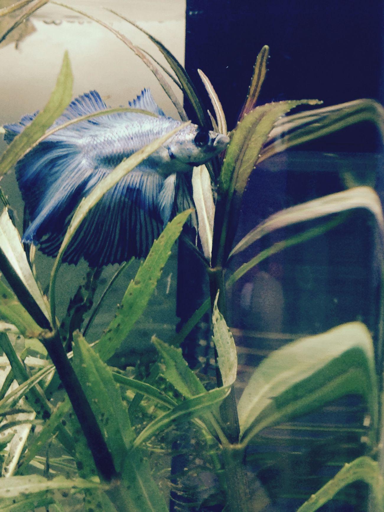 Fish Grass Wather Lights On Water Blue Fish Ma Love Beautiful Animals  Animals Siamese Fighting Fish My Love