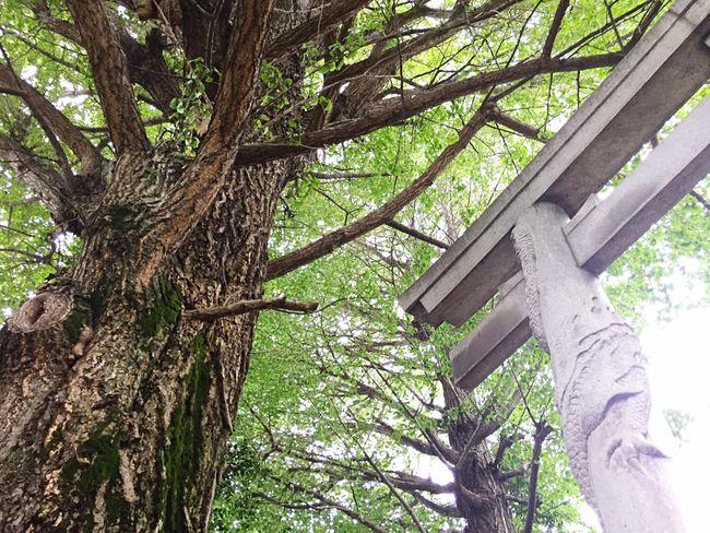 Streetphotography Tree Green Japan Tree_collection  Japan Photography Temple 苔 Tokyo,Japan Moss Koenji 高円寺