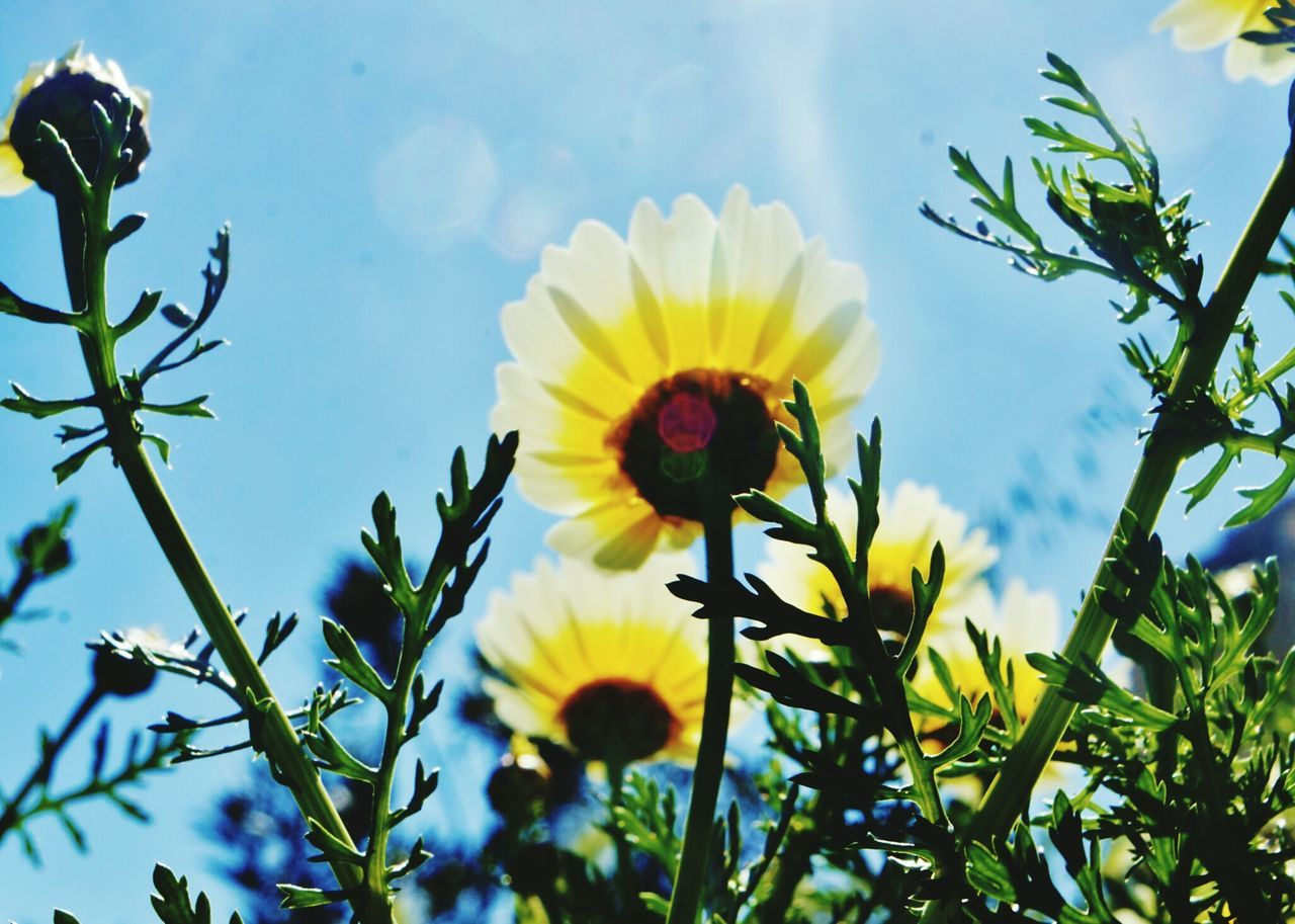 Flower Nature Beauty In Nature Growth Close-up Yellow Fragility Plant Outdoors Petal Flower Head Freshness Sky No People Day Daisy Flower Margaritas🌻 Daisy 🌼 Flower Of Eyeem