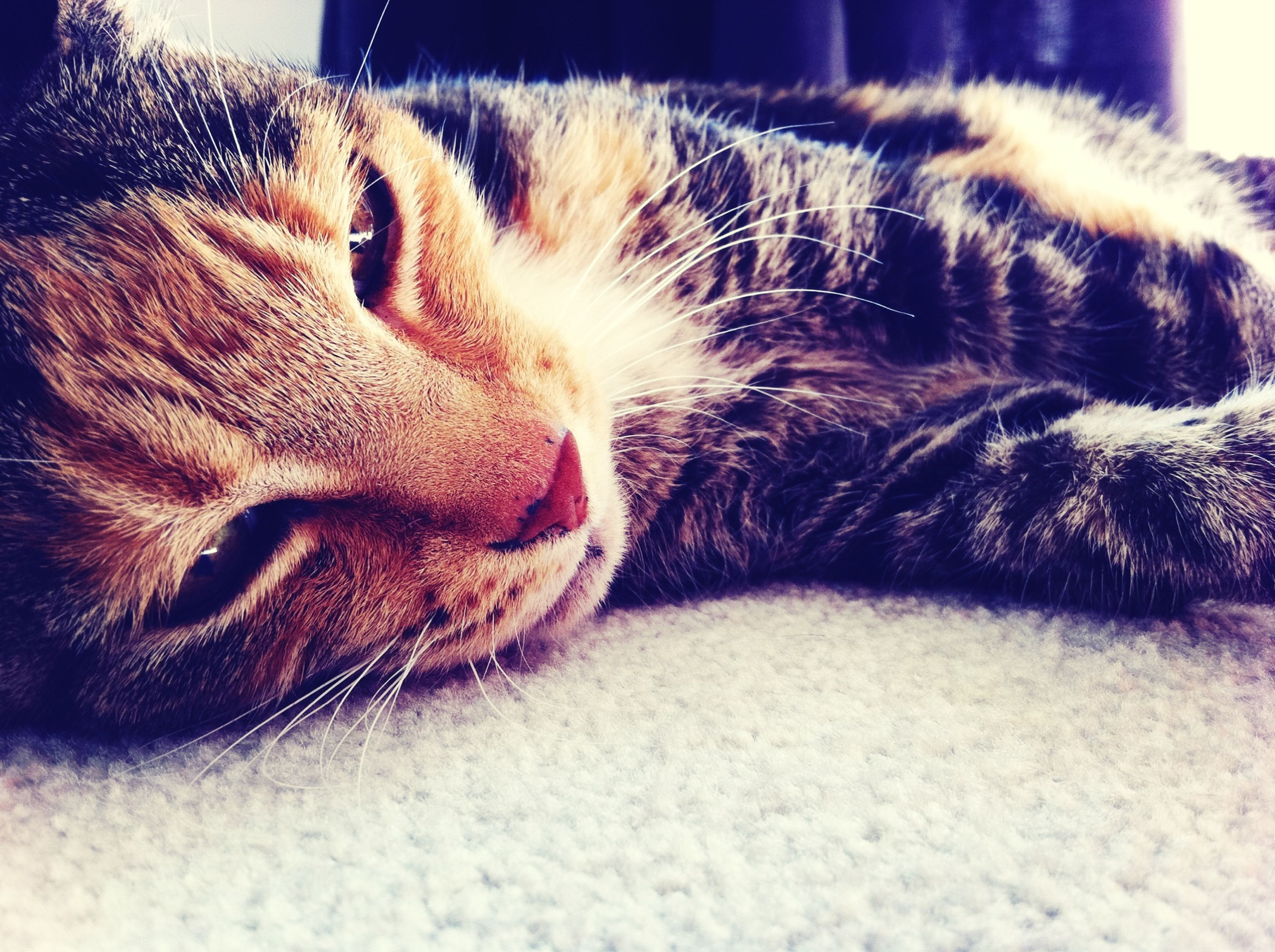 domestic animals, pets, domestic cat, mammal, one animal, animal themes, cat, feline, indoors, relaxation, whisker, close-up, sleeping, resting, eyes closed, lying down, animal head, animal body part, no people, home interior