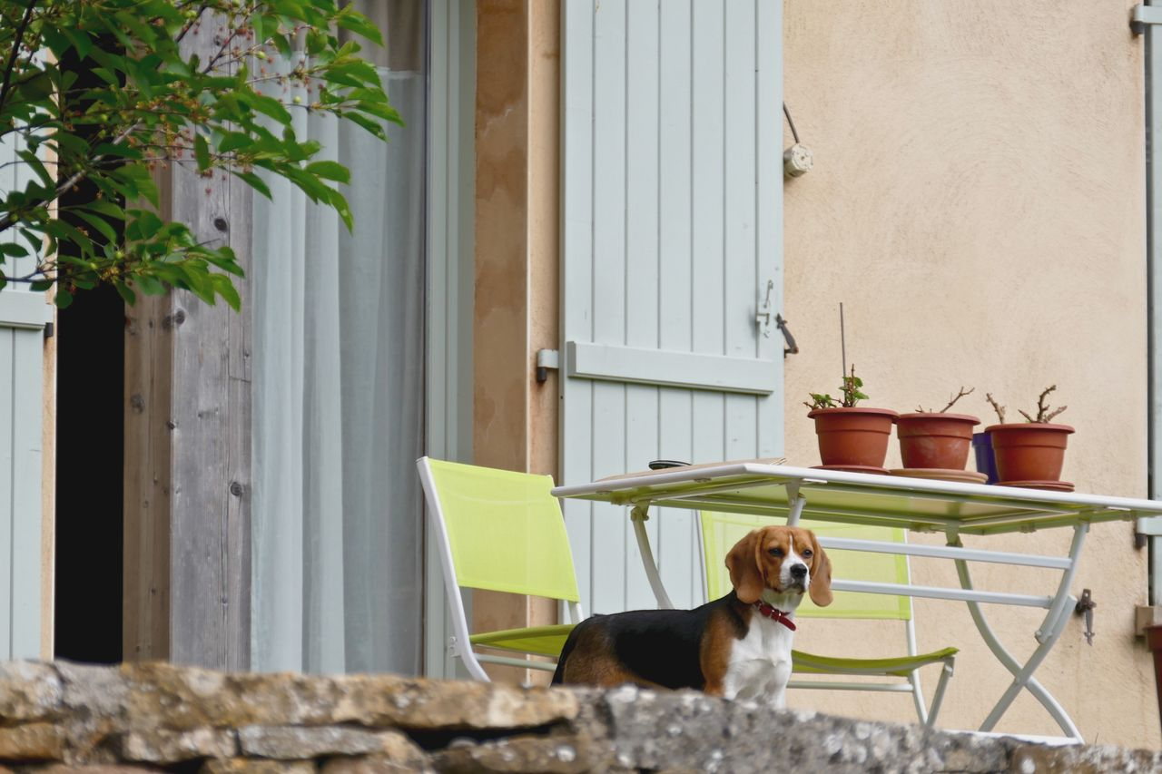 Beautiful stock photos of beagle, Animal Themes, Architecture, Beagle, Built Structure