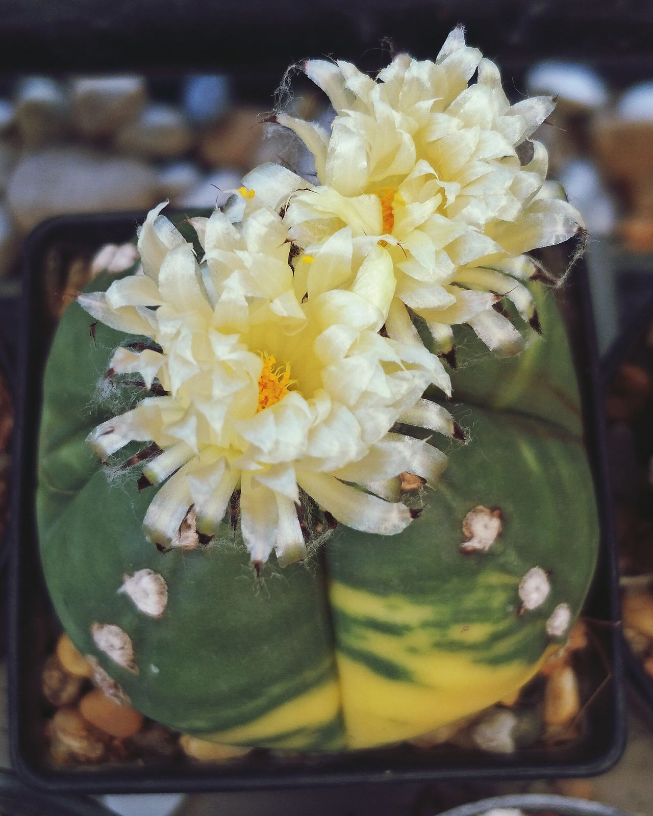 Astrophytum Myriostigma Varigated Beauty In Nature Cacti Plant Cactuslover Cactus Plant Cactusflower Flower Nature
