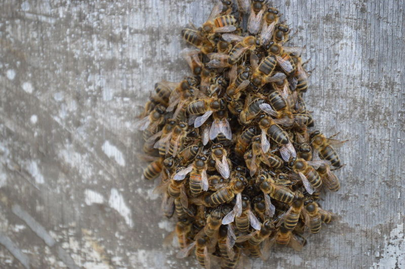 Abundance Bee Swarm Bees Brown Insects  Large Group Of Objects Swarm Swarm Of Bees Maximum Closeness
