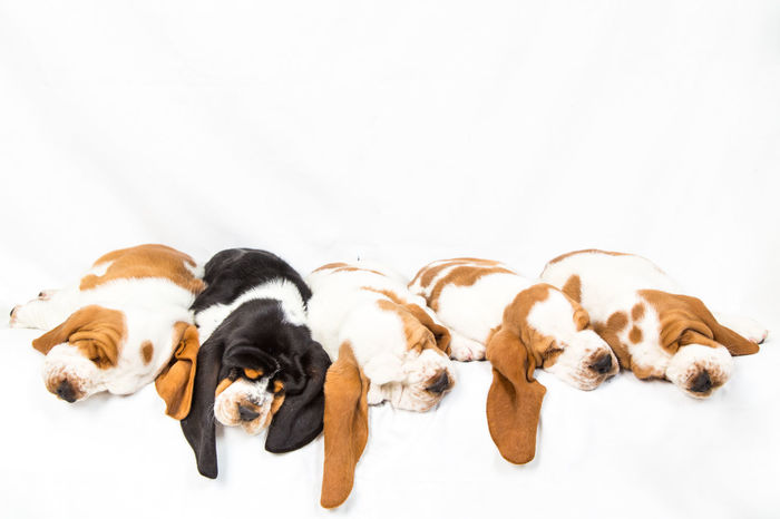one black basset hound puppy sleeps among the rest of his of red and white litter mates Adorable Animal Themes Basset Hound Close-up Dog Domestic Animals Ground Indoors  Little No People Odd Man Out Pacific Ocean Pets Puppies Puppy Sleeping Snuggle Togetherness Uniqueness White Background