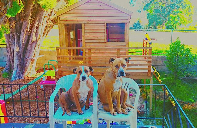 Femalephotographer Femalephotographerofthemonth My Dogs❤️ I Love My Dogs❤️ My Pittys❤ Pitty ❤ I Love My Pittbull ❤ Dogs Of EyeEm Dogslife EyeEm Masterclass Taking Photos ❤ ❤Bliss❤ Eye4photography  Cubby House A Dogs Life Kids Playground EyeEm Best Shots Trees Collection My Love❤ Summer Dogs My Dogs Dogs Life EyeEm Dogs Hanging Out ✌ Dogs Kicking It