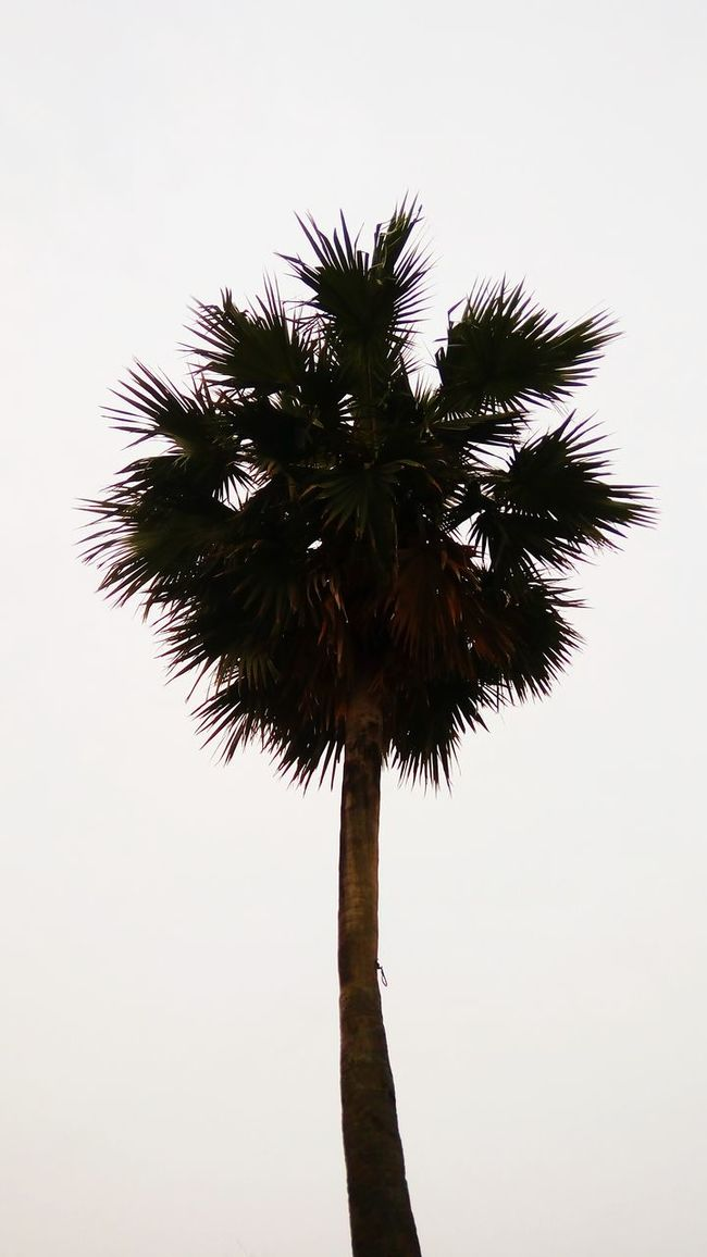 Sugar Palm.