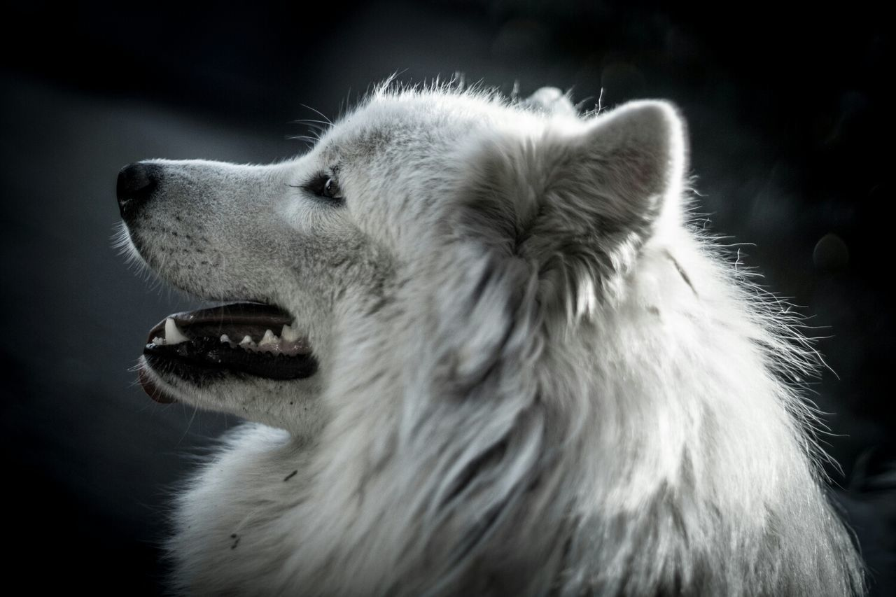 Beautiful stock photos of wolf, Alertness, Animal Head, Animal Themes, Argentina