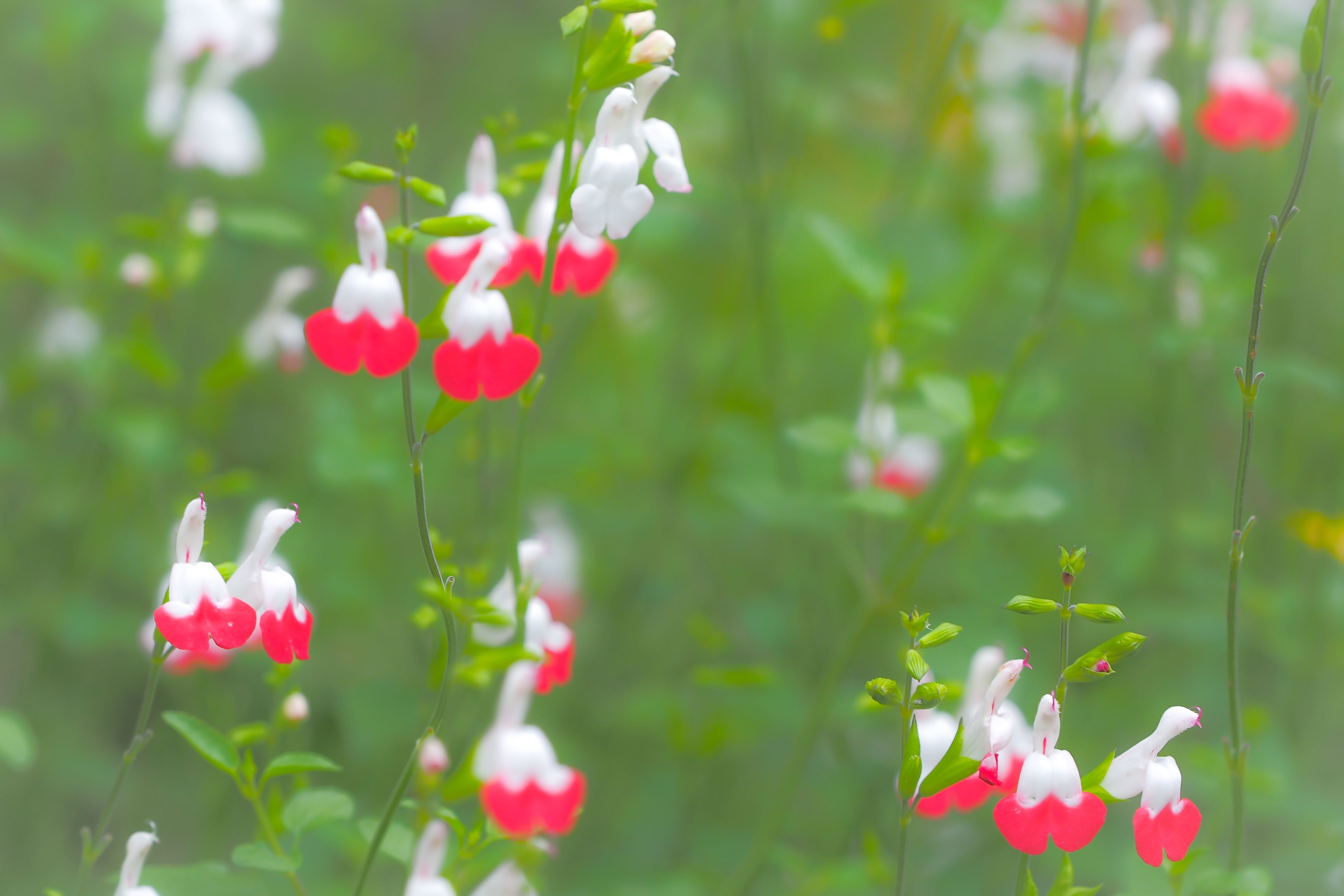 flower, freshness, fragility, petal, growth, beauty in nature, blooming, flower head, focus on foreground, pink color, plant, nature, red, stem, in bloom, close-up, blossom, bud, day, outdoors
