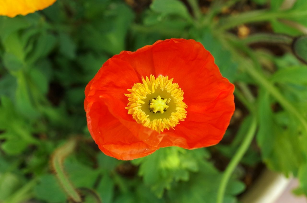 Flower Nature Beauty In Nature Petal Red Flower Head Fragility Freshness Growth Plant Springtime Yellow Outdoors Blossom Close-up No People Blooming Poppy Day