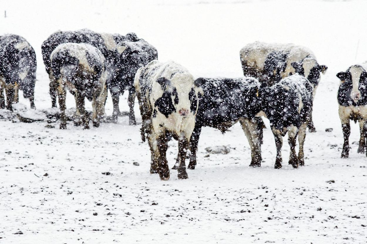 Beef Cattle Cattle Cold Temperature Cows Cows In Snow Frozen Snow Snow Storm Snow ❄ Weather White Winter