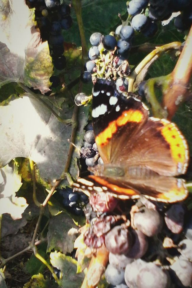 Butterfly Eating Grape's Juice Edited By @wolfzuachis Butterfly Eating Slowfood Grape Showcase: October @wolfzuachis Ionitaveronica Wolfzuachis Romania Showcase: 2016 Eyeem Market Autumn Enhanced Butterfly Vineyard Butterfly - Insect Insect Dramatic Angles Colorful Fruits Grapes Nature Butterfly Collection Focus On Foreground