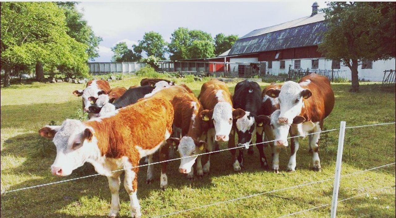 Happy cute cows !