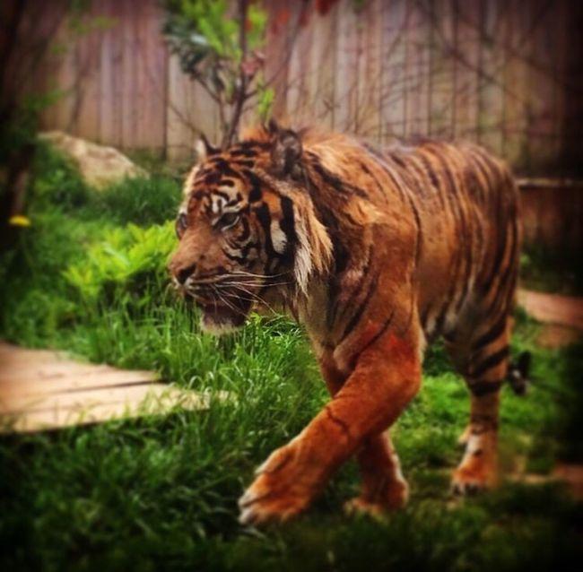 Tiger Legend King Zoo Animals Captivity Survivor Amnéville  Love