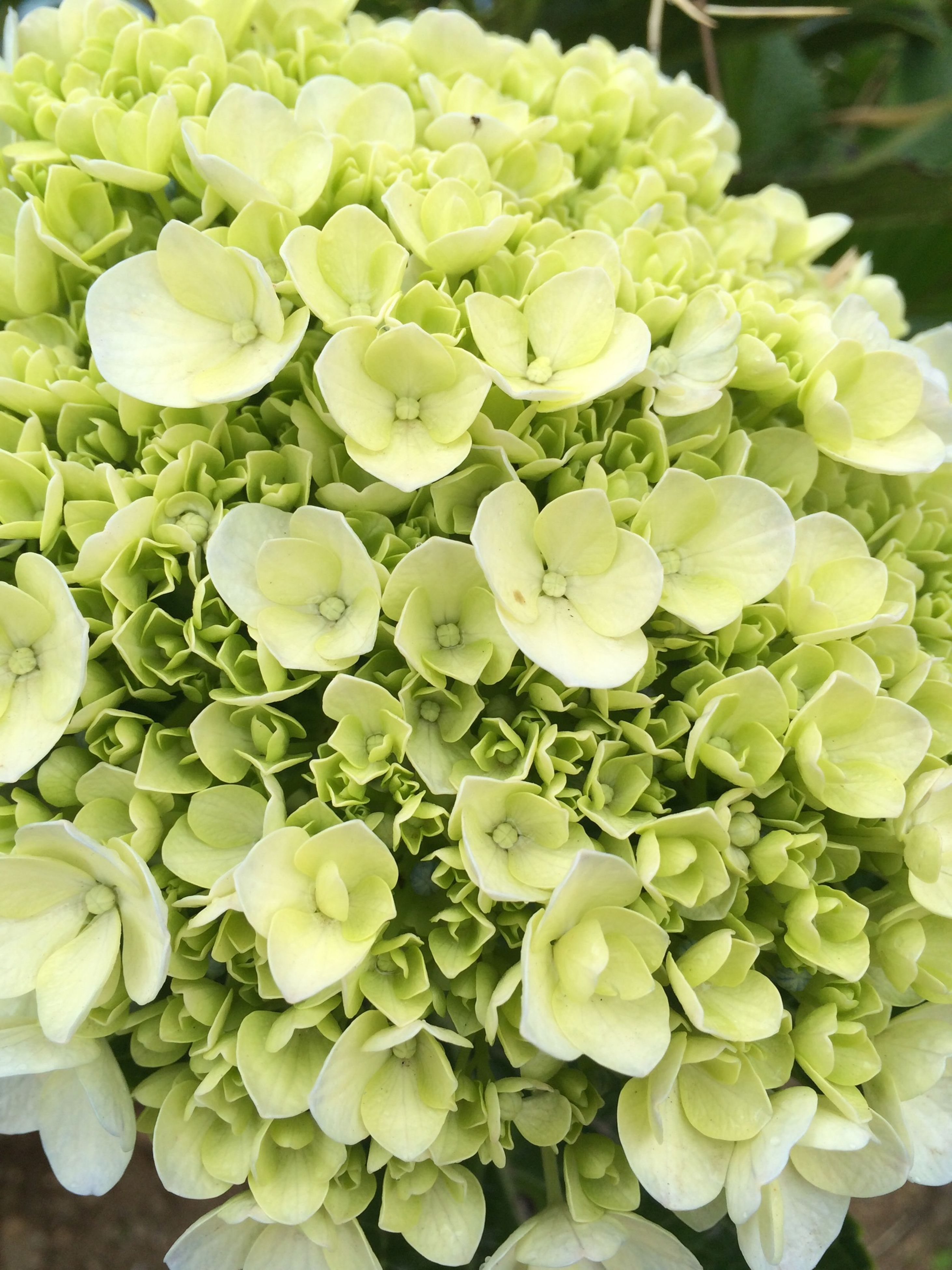 flower, freshness, fragility, petal, growth, flower head, beauty in nature, plant, nature, white color, blooming, close-up, high angle view, leaf, in bloom, green color, botany, bud, no people, focus on foreground
