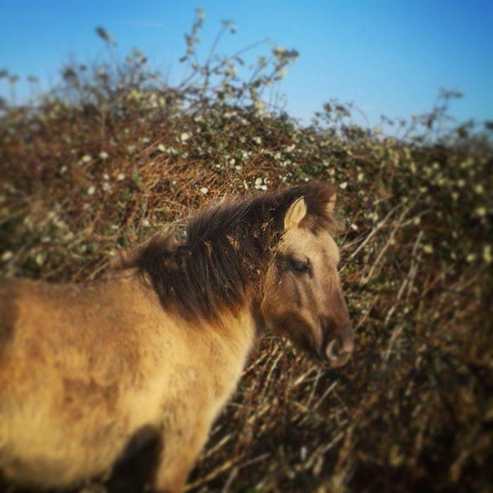 Lekker wandelen in de Blauwekamer Horse Nature Konikhorse netherland animal