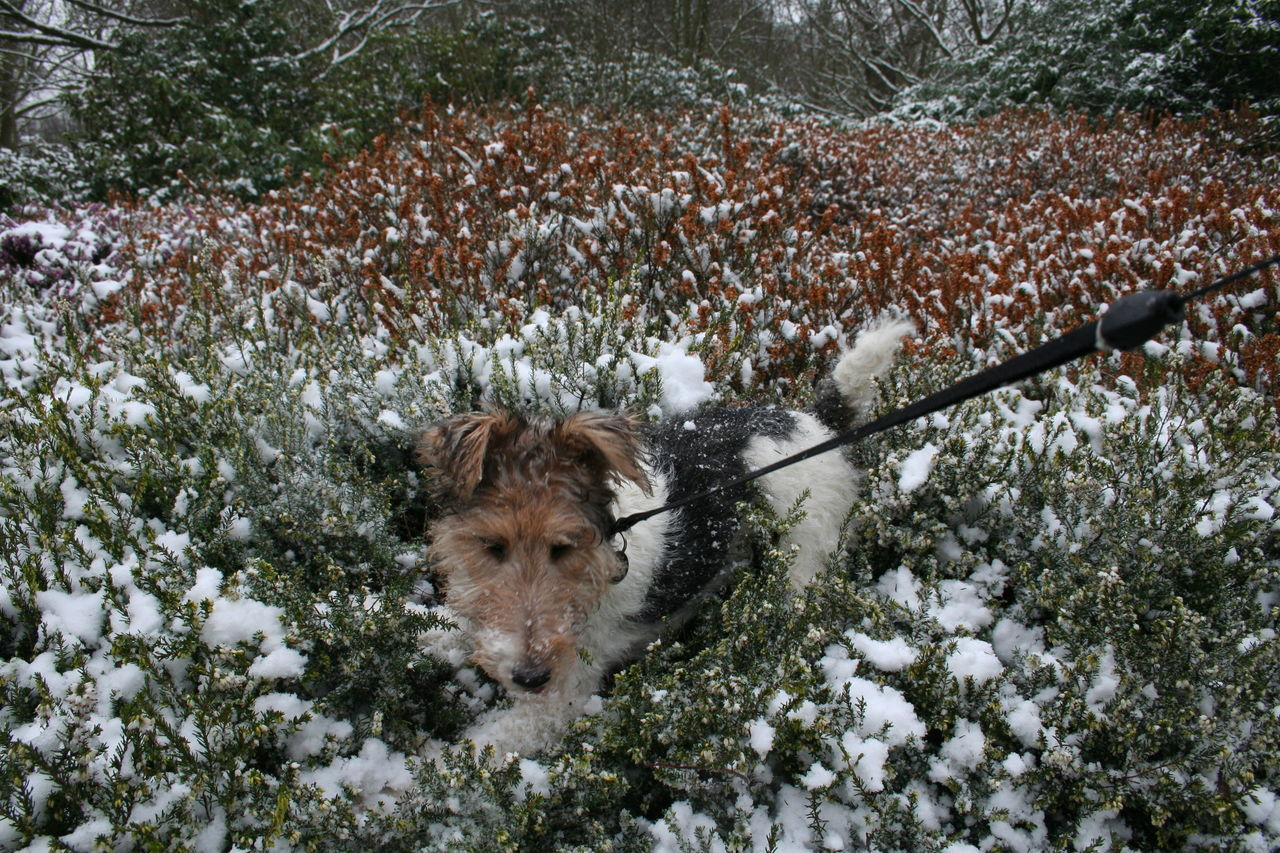 High Angle View Of Fox Terrier At Richmond Park During Winter