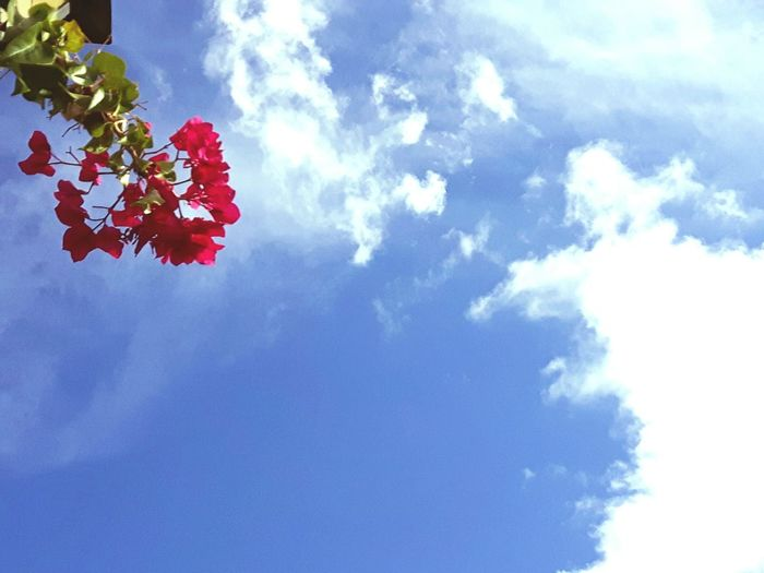 Bougainvillea Flower Flower Sky Blue Cloud - Sky Low Angle View Tree Nature Red Beauty In Nature No People Outdoors Springtime Backgrounds Growth Day Moon Branch Fragility Freshness Flower Head