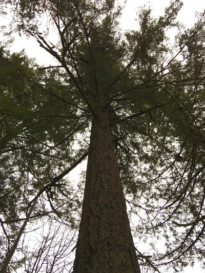 Tree Low Angle View Nature Growth Forest No People Beauty In Nature Branch Outdoors Sky Day Growth Meaning Of Life Woods Scenics Outdoor Pictures Nature Photography Close-up Tree Trunk Tree Trees And Sky Trees And Nature Large Tree Trunk Life In Motion Nature