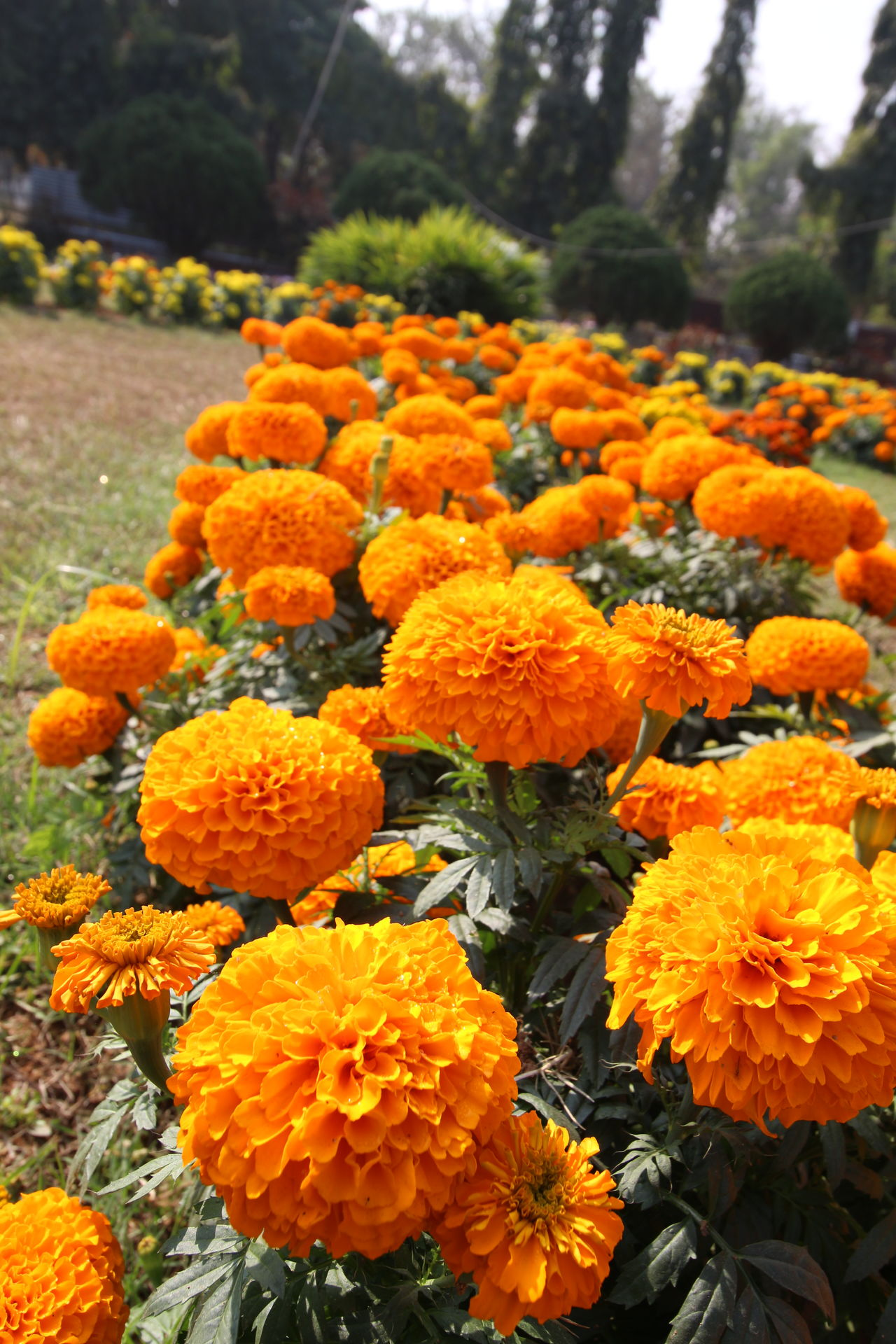 Beauty In Nature Bedofflowers Close-up Collection Collections Flower Head Flowers Freshness Growth India Marigold Nature Outdoors Picoftheday Winter Yellow