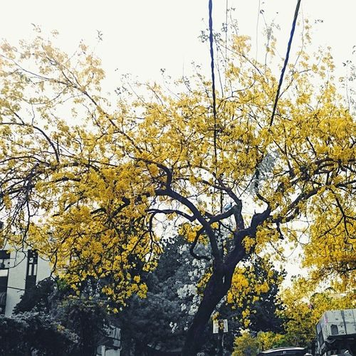 Come Spring-Summer, and you see Delhi University's Bungalow Road in North Campus flanked with the flowering Golden Shower Tree and the roads and pavements golden colored. Delhi Delhidiary _soi @streets.of.india @delhihai @delhigram Goldenshowertree Yellow Delhiuniversity