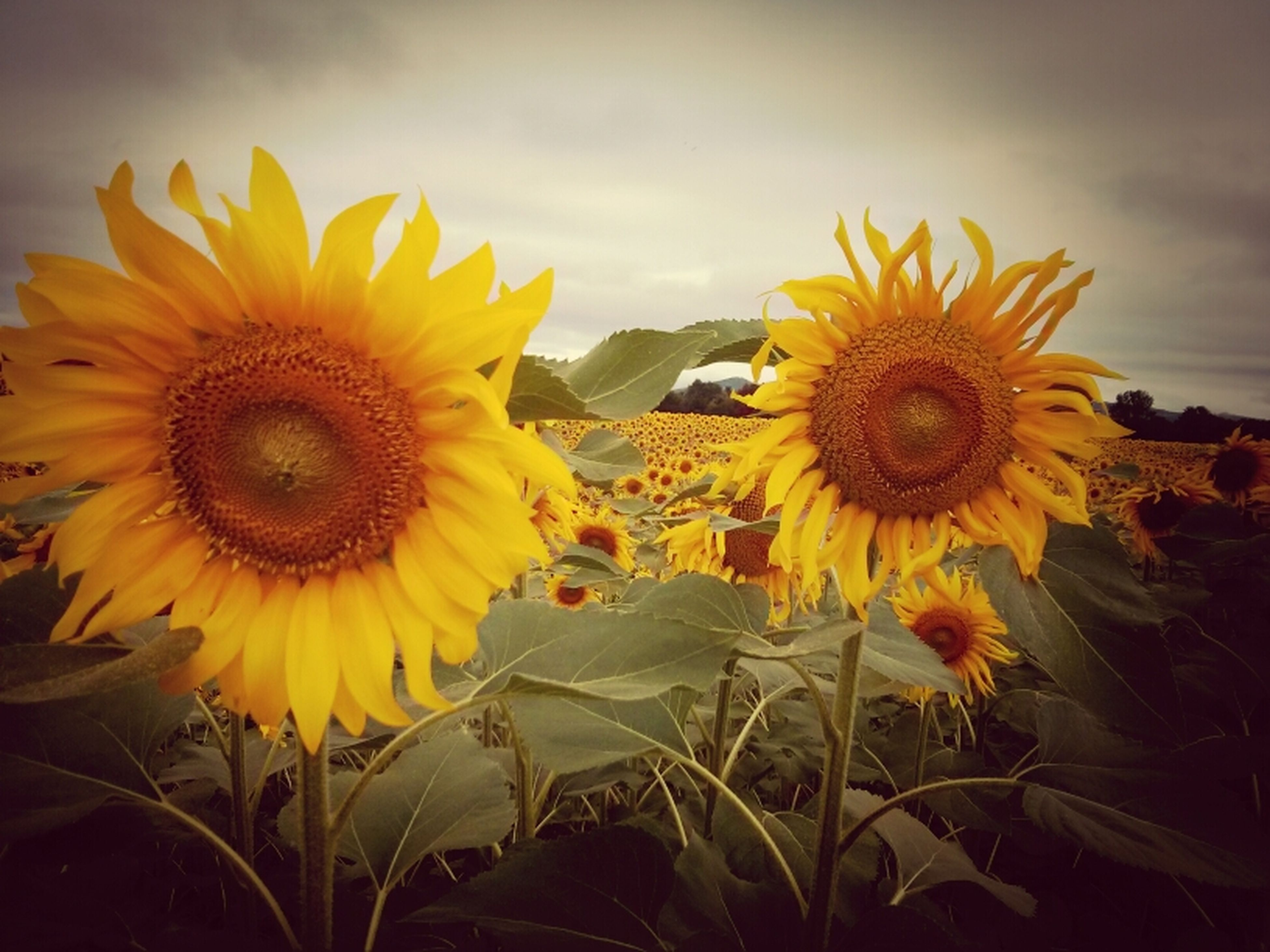 flower, sunflower, yellow, flower head, freshness, petal, fragility, growth, beauty in nature, pollen, blooming, plant, nature, sky, field, close-up, outdoors, in bloom, no people, focus on foreground
