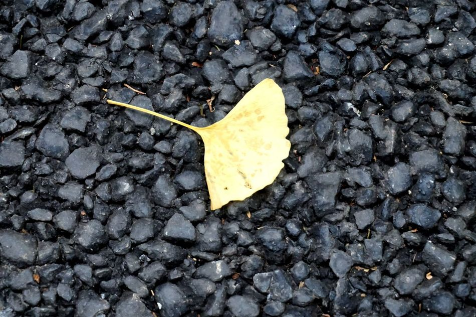 Leaf Gingo Gingo Leaf Yellow Nature