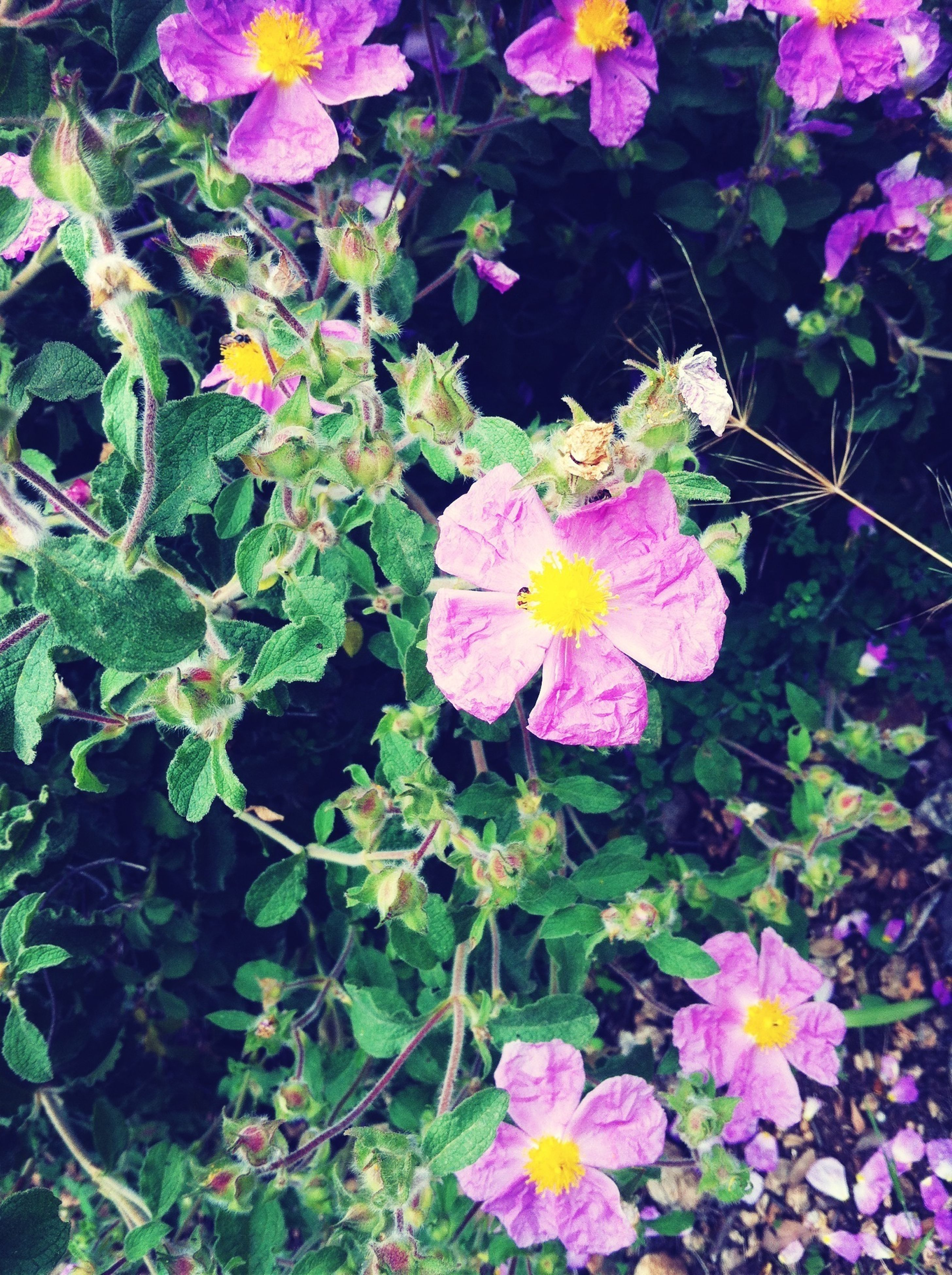 flower, freshness, petal, fragility, growth, beauty in nature, flower head, blooming, leaf, high angle view, plant, nature, pink color, in bloom, park - man made space, close-up, purple, outdoors, day, no people