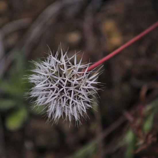 Silver Puff Wildflowers White Flora Texture Details Closeup TehachapiCalifornia Flower