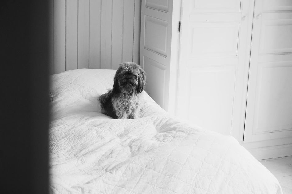 Dog sitting in bed Animal Themes Bed Bedroom Black & White Black And White Black And White Photography Blackandwhite Blackandwhite Photography Day Dog Dog Love Dogs Dogs Of EyeEm Dogslife Dog❤ Domestic Animals Home Interior Indoors  Mammal Monochrome No People One Animal Pets Portrait