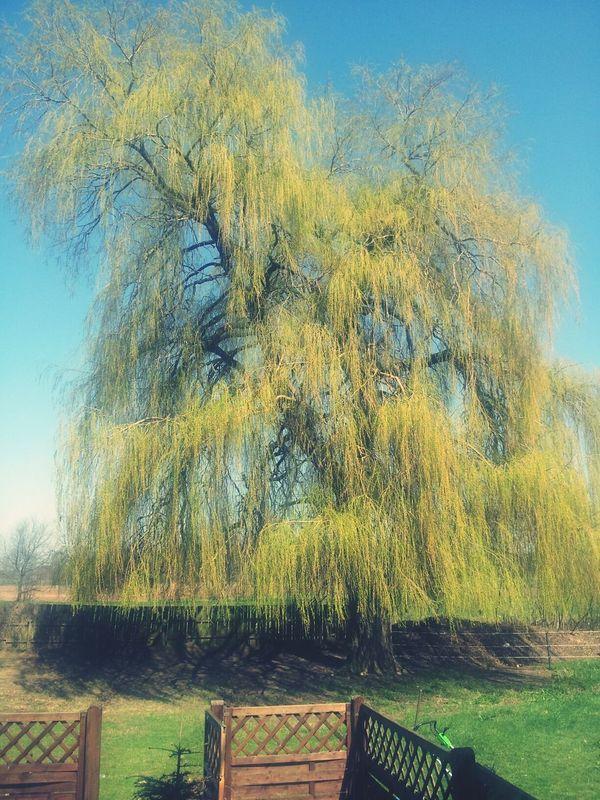 Mein Freund, Der Baum Trauerweide Silhoutte Nature