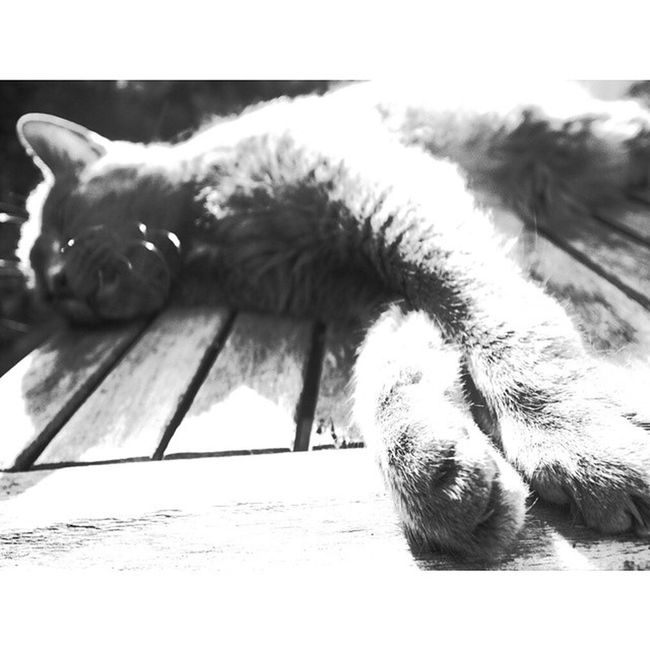 Enjoying the sun..Well it is Worldcatday Millycat Greycat RussianBlue cat cats pet petstagram kitten kittens catstagram pets kitty catlovers catsofinstagram animal catlover ilovemycat meow picpets instacat 貓 ねこ kucing