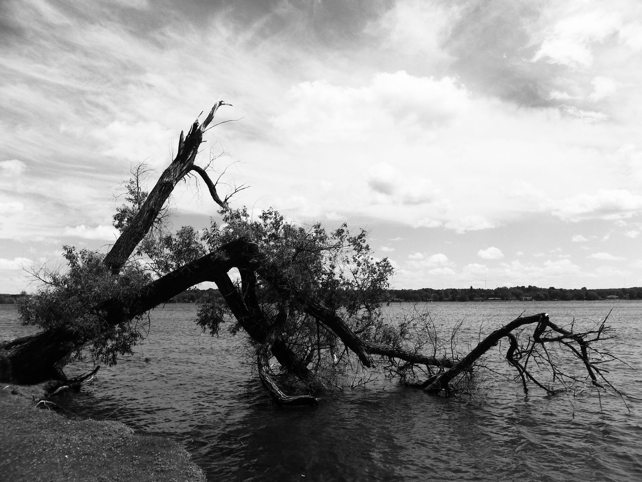 Black And White Fallen Tree In And Out Lake Cadillac Pure Michigan Eerie Scene Powerful Image