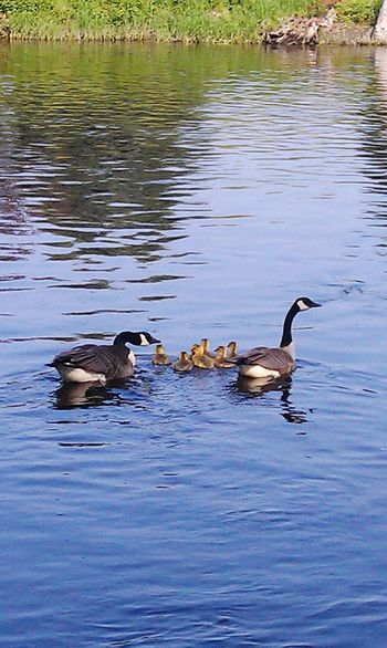 Duck, duck, goose! Geese Geese Family Swimming Geese Gathering Geese In Water Geese At The Lake Geese Babies Nature Naturelovers